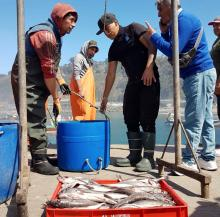 A group of fishers unload a box of hake on a dock in Chile.